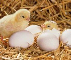 Разведение и содержание голубей в домашних условиях 24