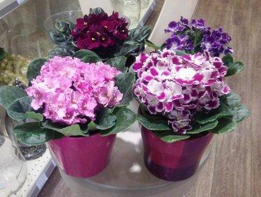 Фиалка не цветет – как заставить фиалку цвести