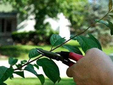 Обрезка однолетнего саженца яблони
