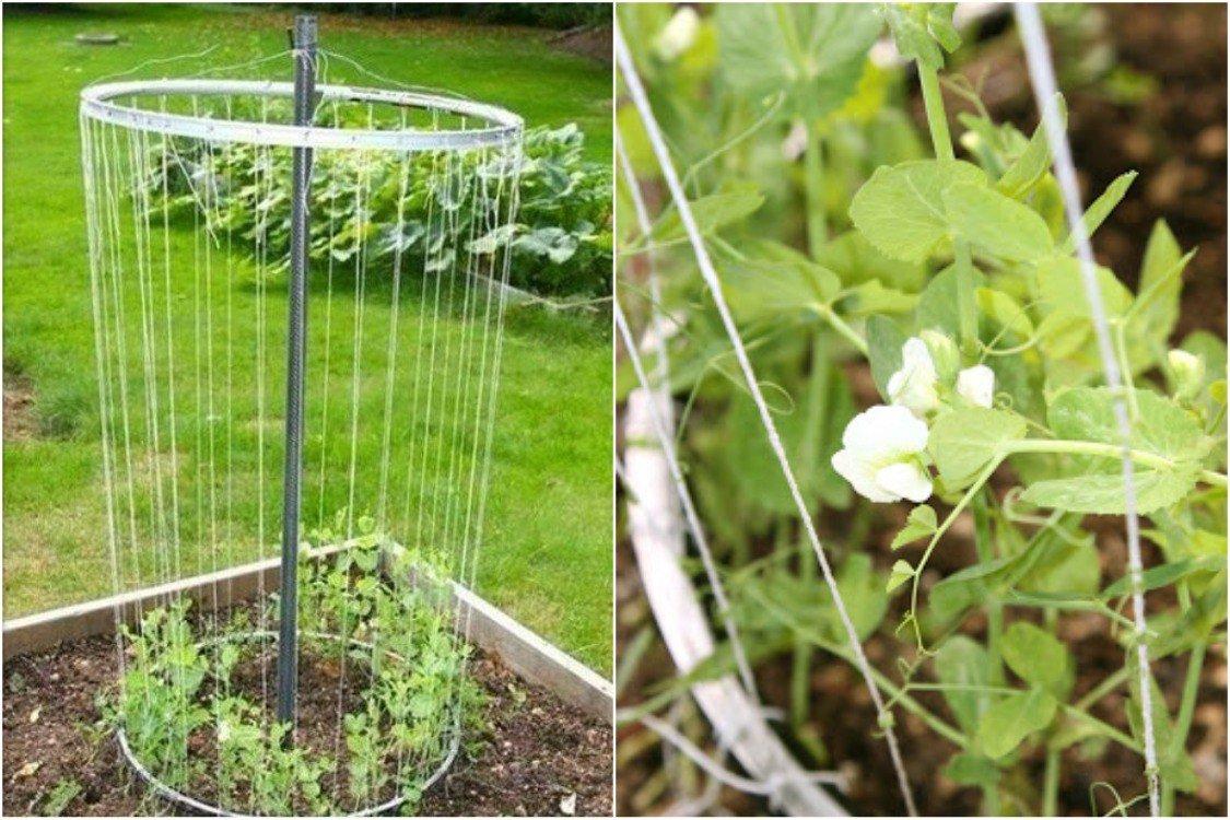 Опора для гороха 14 фото как сделать своими руками подпорки и шпалеру как подвязать растение на грядке в открытом грунте
