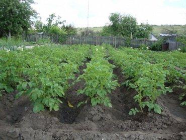 Агротехника выращивания картофеля на дачном участке