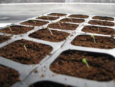 Начинаем сеять рассаду