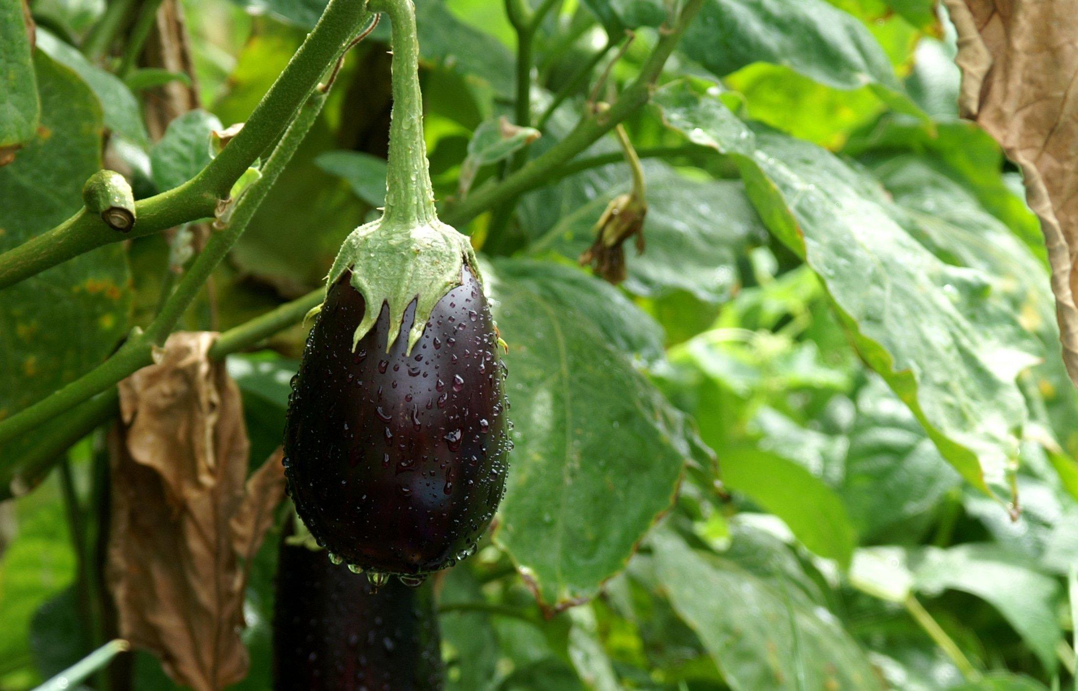 Выращивание баклажанов в открытом грунте: советы по уходу и сбору