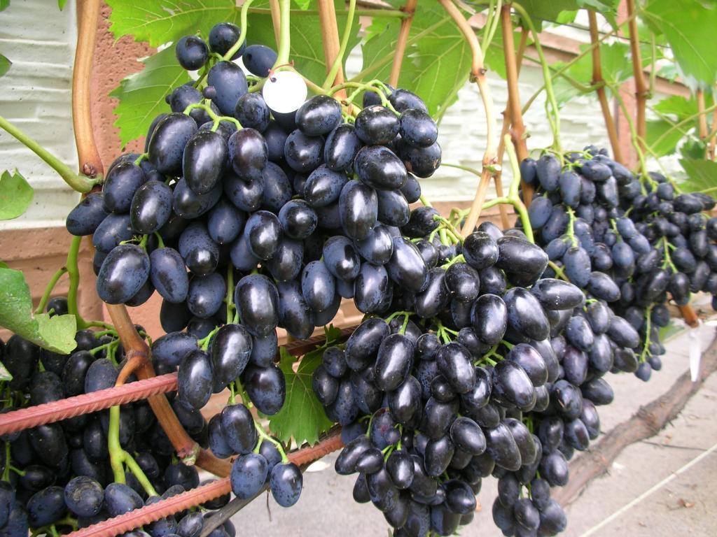 Способ посадки винограда черенкованием