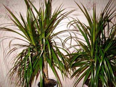 Ложная пальма – драцена уход и размножение