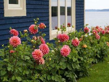 Как сажать георгины весной: чем подкормить цветы