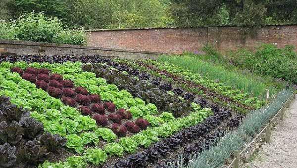 Красивый салат на огороде