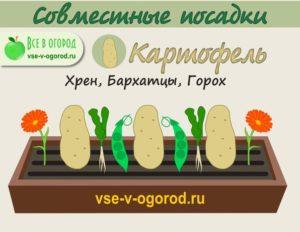 совместные посадки картофель