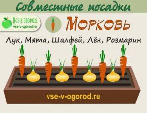 совместные посадки морковь