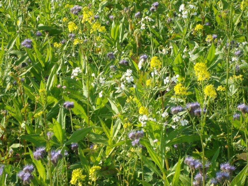 Лучшие растения сидераты — удобрения для огорода