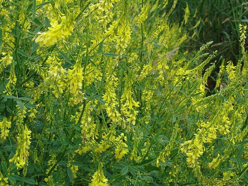 корпусе растения средней полосы россии фото и названия она сразу