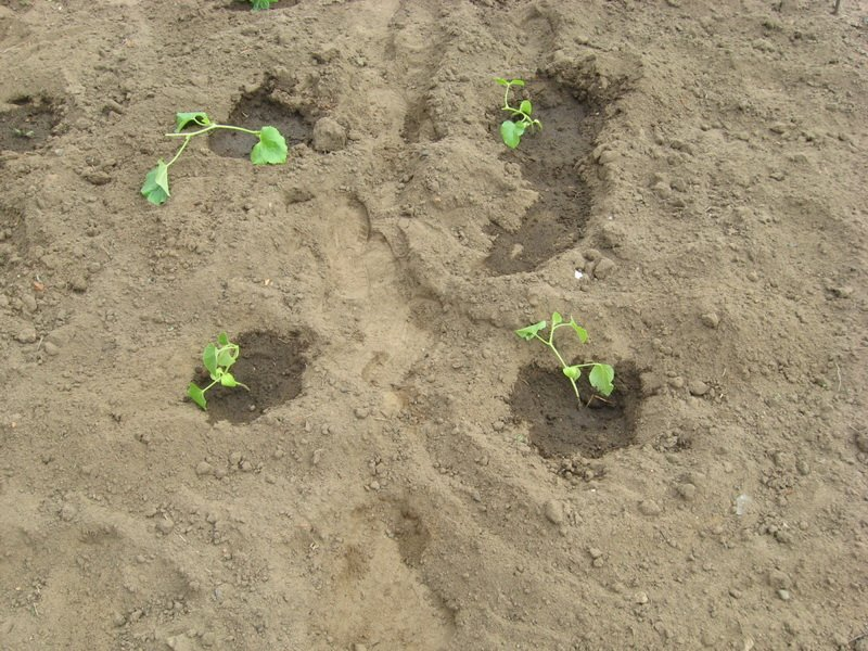 Сажать в песчаной почве 221