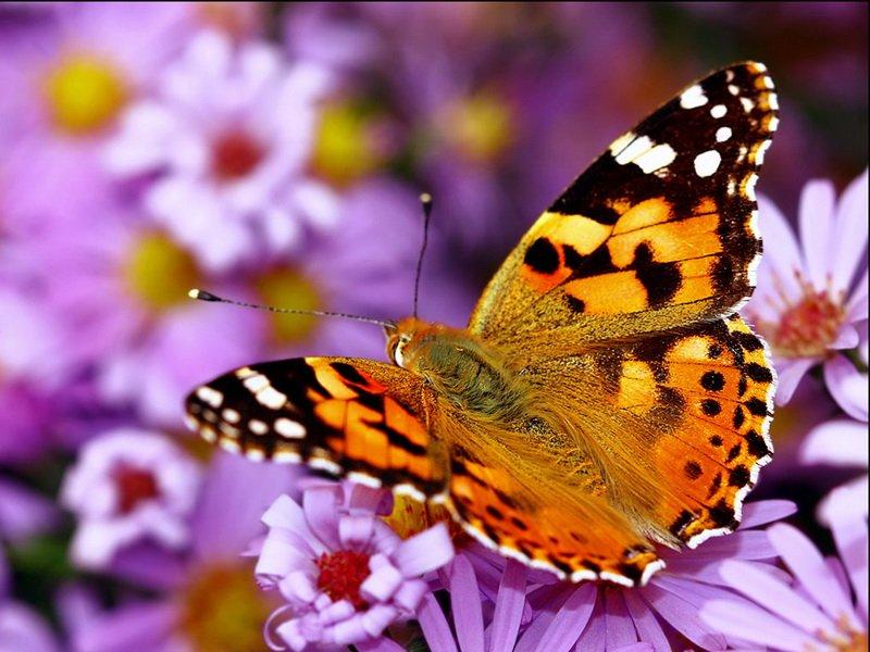 Бабочка-репейница