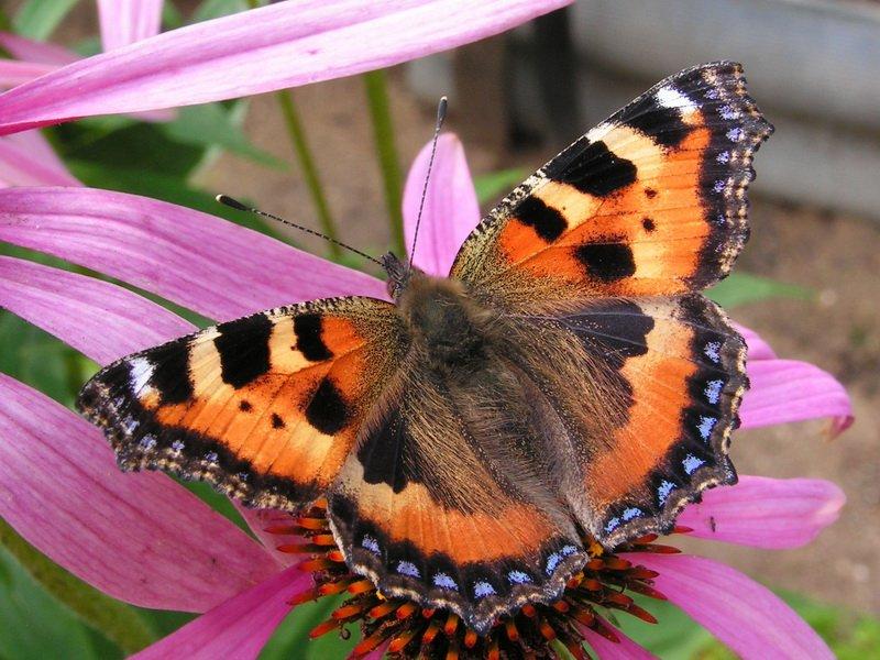 Бабочка- крапивница