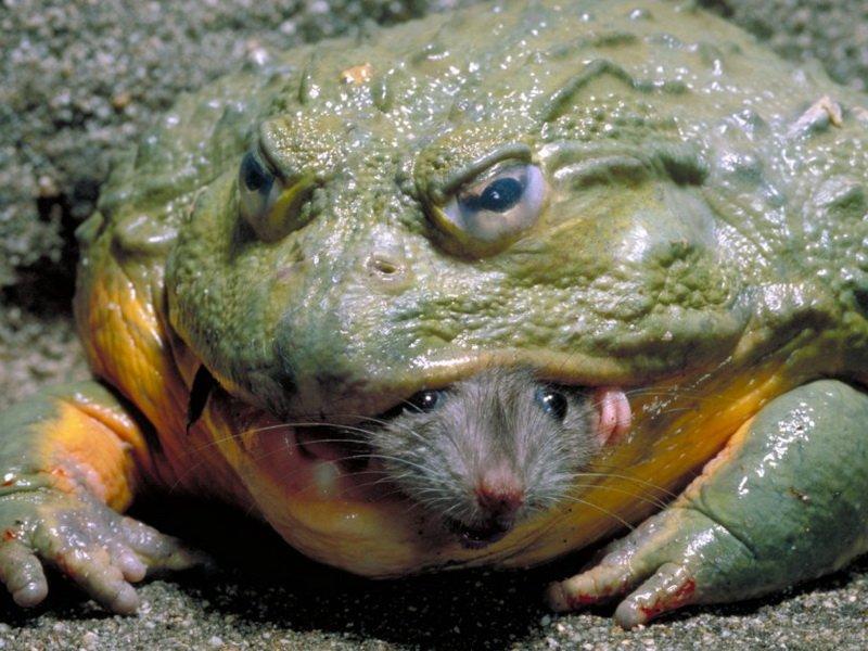 Жаба поедает вредителей