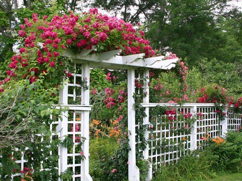 Для роз сооружают деревянные капитальные арки и перголы