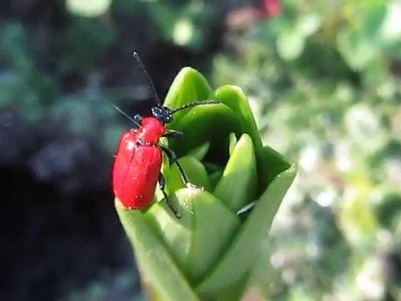 Красный жук на бутоне лилии