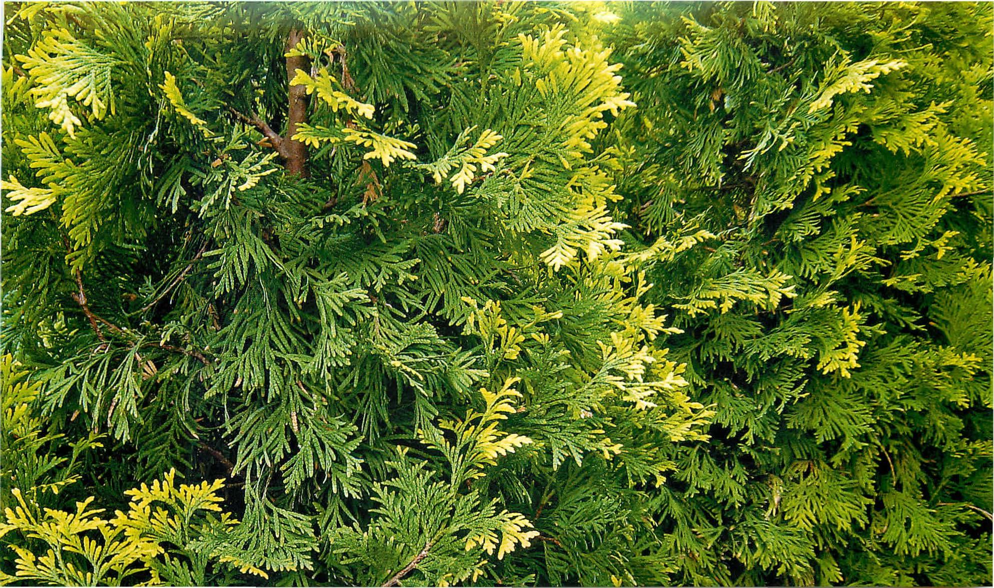 Туя западная и восточная: описание, уход и выращивание