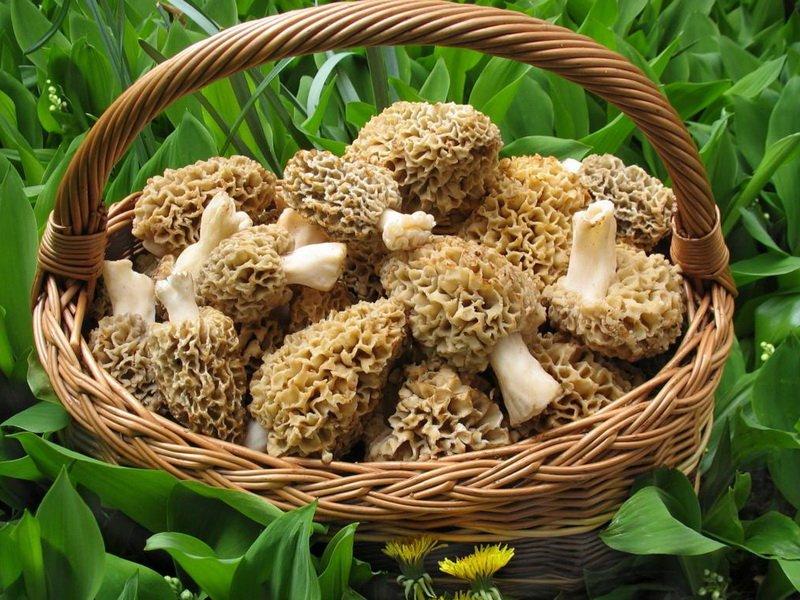 Съедобный гриб сморчок черный
