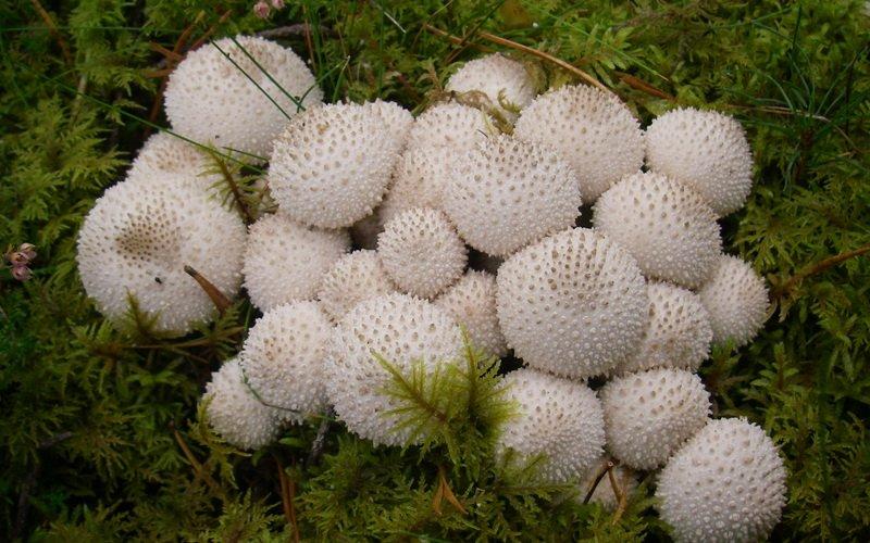 Дождевик настоящий, или жемчужный (Lycoperdon perlatum)