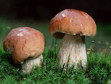 Виды белых съедобных грибов (Boletus edulis) и их фото