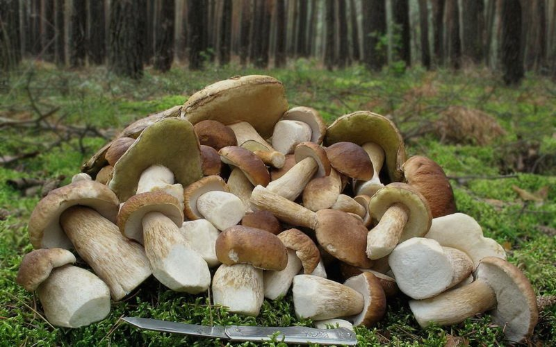 Белый гриб на фото