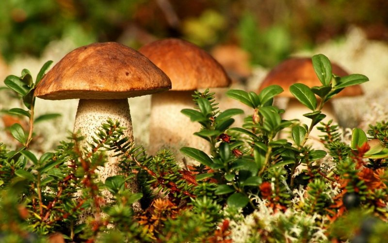 Виды белых грибов фото