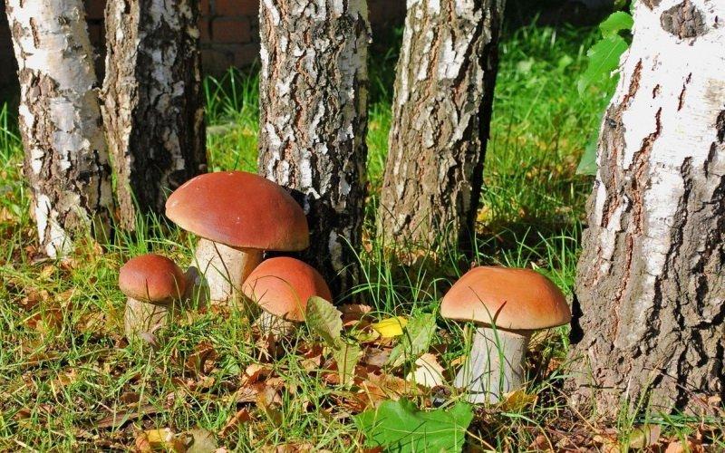 Березовые виды белых грибов: описание внешнего вида с фото
