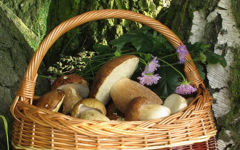 Березовые виды белых грибов: описание внешнего вида с фото фото