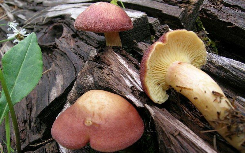 Желто-красные разновидности съедобных опят с описанием фото