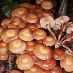 Опёнок осенний (Armillaria mellea; Armillaria borealis) фото и описание