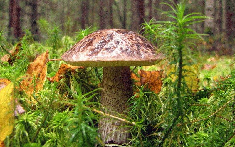 Какие еще грибы подберезовики существуют? фото