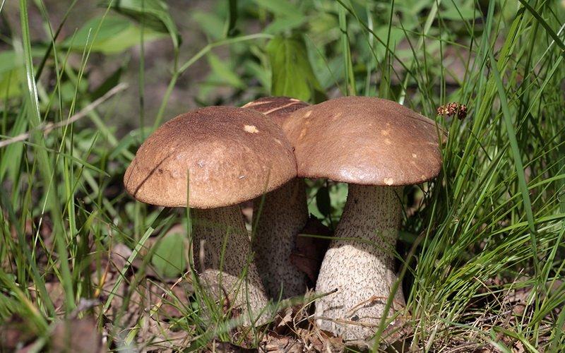 Какие еще грибы подберезовики существуют?