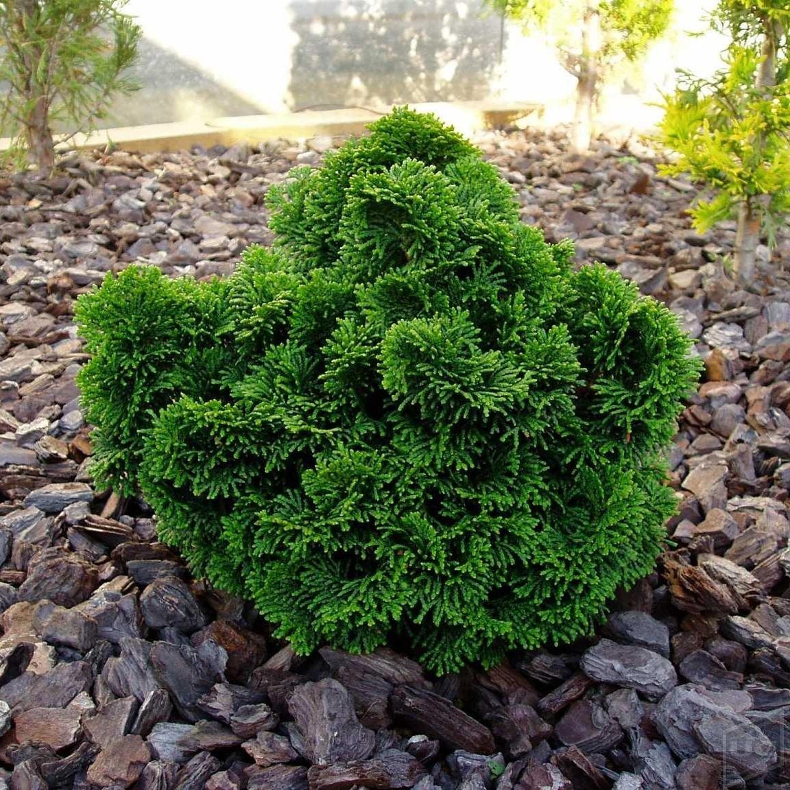 Особенности выращивания дерева кипарис. Основные виды и сорта кипариса для сада