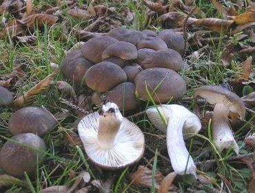 Съедобные и несъедобные виды грибов рядовки: фото и названия