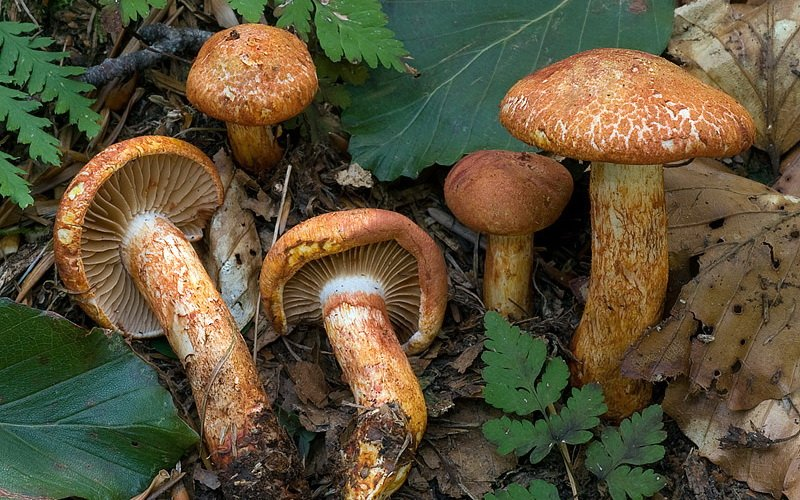 Как выглядит гриб паутинник ядовитый (с фото) фото