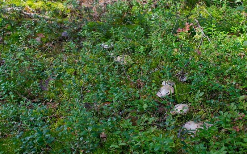Паутинник козий растет очень обильно в лиственных и хвойных лесах