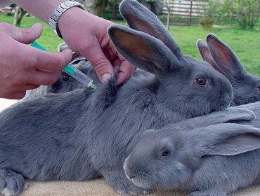 Вакцинация кроликов: как делать прививки