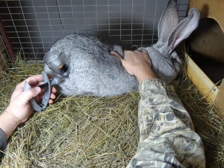 Чем привить кроликов в домашних условиях 781