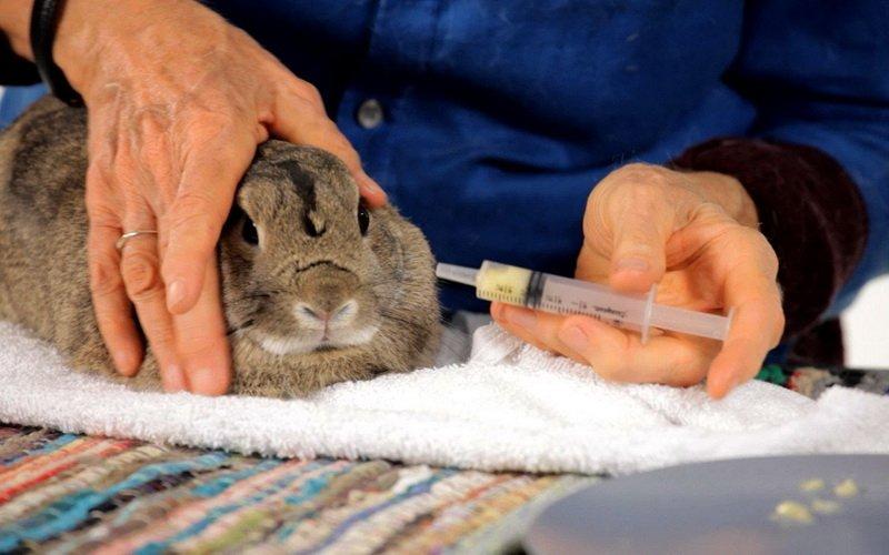 Как дать кролику лекарство для лечения