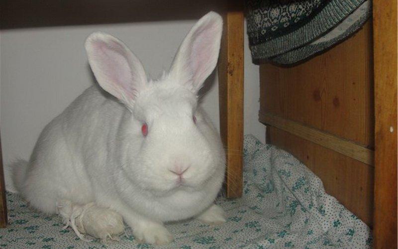 Повязка у кролика
