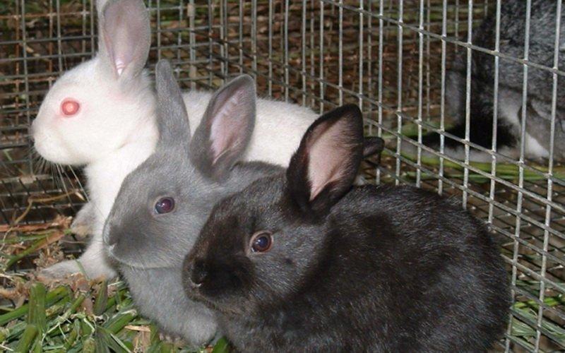 Что нужно для размножения кроликов: родственное и межпородное скрещивание