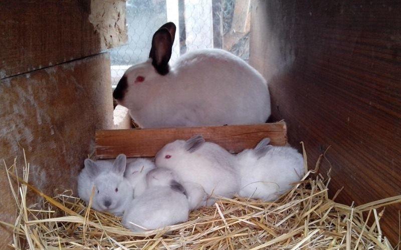 Отъем кроликов от матки: в каком возрасте отнимать крольчат от крольчихи