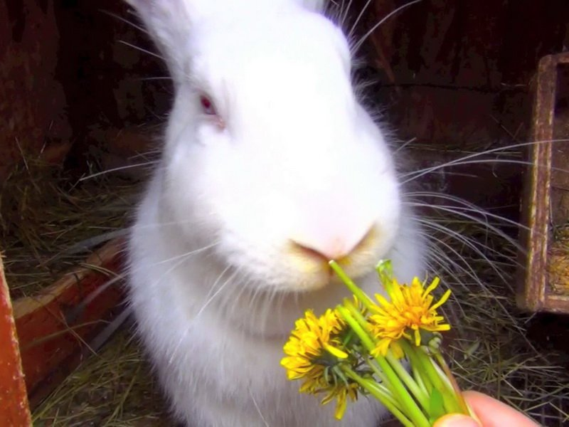 Корм для кроликов одуванчик