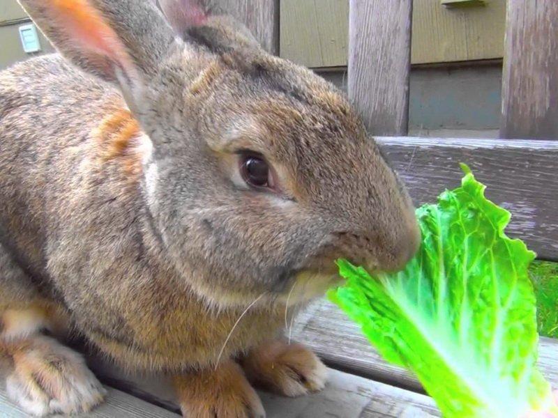 Капуста для кроликов