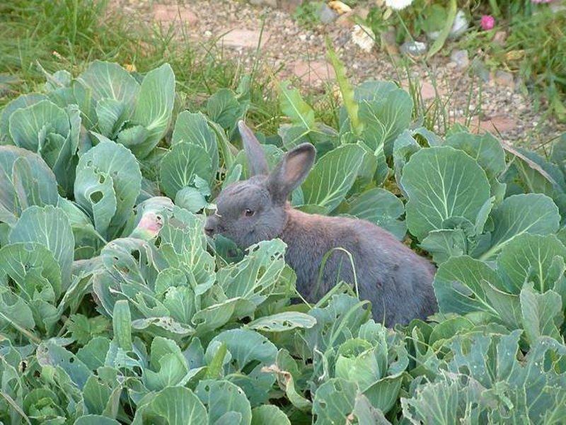 Капуста корм для кроликов
