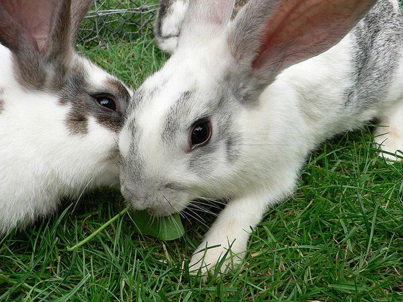 Подорожник корм для кроликов