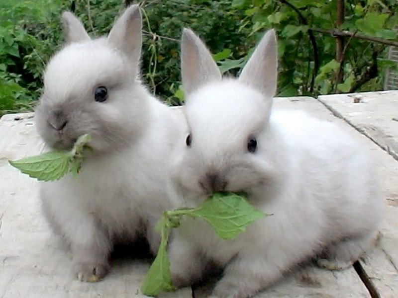 Крапива для кроликов