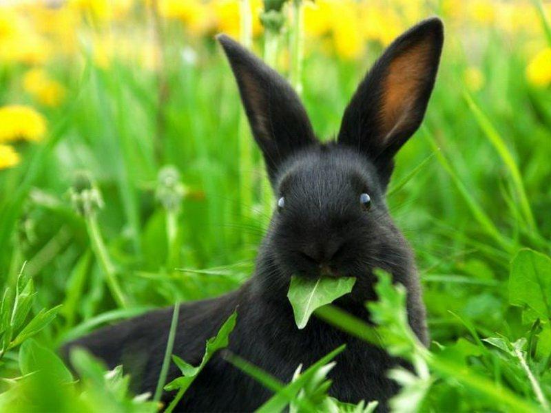 Мать-и-мачеха корм для кроликов