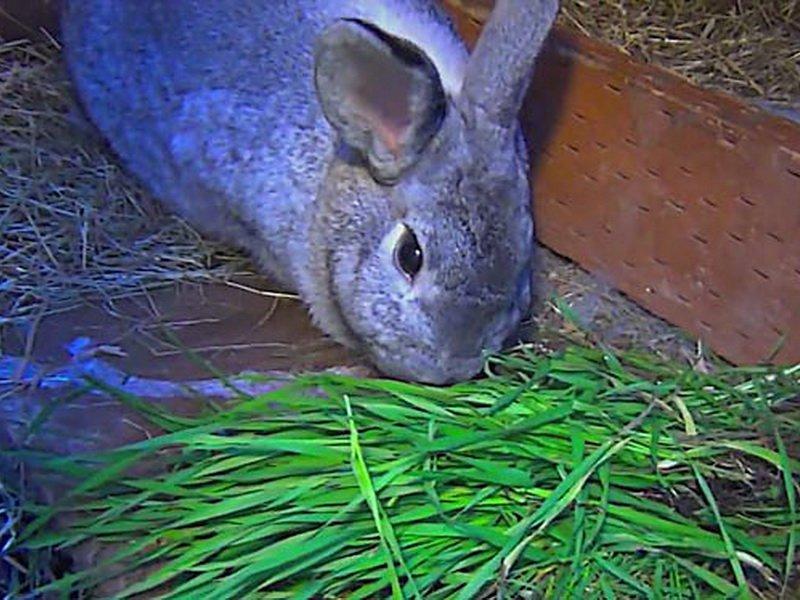 Пырей корм для кроликов
